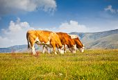 Cows on pasture in ecological environment, Zlatibor mountain, Serbia.