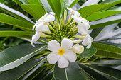 Plumeria or Frangipani flower