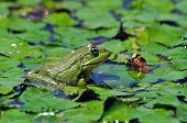 A green bullfrog standing on green water lily leaves