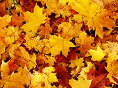 foto of fall leaves  - the bed of colorful fall a leaves - JPG