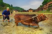 Chinese Farmer Plowing A Rice Field Using Pulling Power Red Cow. Chinese Peasant Plowing Paddy field