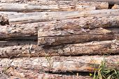 Stacked pine logs