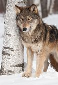 Grey Wolf (Canis lupus) By  Birch Tree