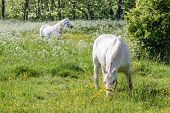 Two White Horses On Green Pasture