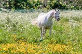 White Horse In Flower Meadow