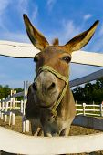 stock photo of mule  - very funny mule poses for the camera - JPG