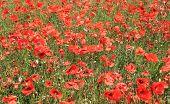 Field of red poppy flowers, summer scene.