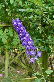 Purple Delphimnium in garden