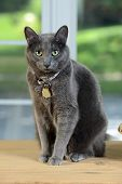 Korat cat sitting on wooden table by window