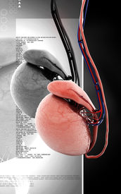 pic of testicle  - Digital illustration of  testicles in colour  background - JPG