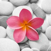 picture of plumeria flower  - Nice calm image of beach pebbles with a single pink frangipani flower - JPG
