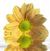 Sunken Yellow Flower