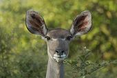 Female Greater Kudu (tragelaphus Strepsiceros) South Africa