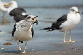 Lesser Black-backed Gull Screeching
