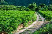 stock photo of cassava  - Cassava is industrial drop in Kanchanaburi Thailand - JPG