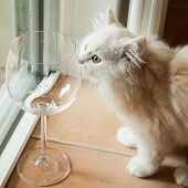Curious White Kitten Smelling An Empty Wine Glass