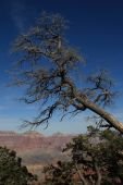 Grand Canyon Dead Tree On Rim