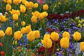 Yellow Tulips And Multicolored Garden Flowers