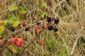 Blackberries - Rubus