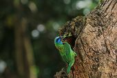 Muller's Barbet,a colorful bird