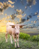 Young Longhorn Calf