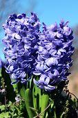 Delft Blue Lily