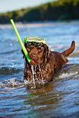 brown labrador retriever dog at the sea