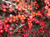 Cotoneaster Horizontalis Berries