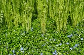 Small Bluish Rambling Flowers And Garden Fern