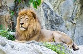 picture of mountain lion  - Male Lion rest on rocky of mountain - JPG