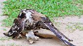 Changeable Hawk Eagle (nisaetus Limnaeetus)
