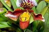 picture of rare flowers  - Slipper Orchid  - JPG