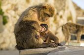 image of gibraltar  - A Baby Berber Monkey With Its Mother In Gibraltar - JPG