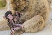picture of gibraltar  - A Baby Berber Monkey With Its Mother In Gibraltar - JPG