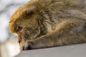 foto of gibraltar  - A sleepy berber monkey in Gibraltar looking down