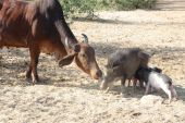 Cow and pigs