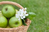 Ripe green apples with flowers in basket on green grass. Closeup