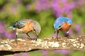stock photo of bluebird  - Eastern Bluebirds  - JPG