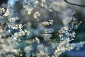Beautiful Plum Blossoms In Early Spring