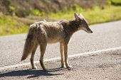 stock photo of coyote  - a coyote alone on a deserted street