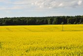 image of rape-field  - Rape seed field with forest in background - JPG
