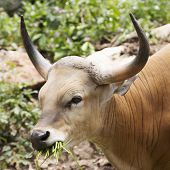 Close Up Wild Cattle Eating Grass