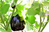 Organic eggplants in the greenhouse