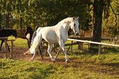 Beautiful White Horse Running Trotting