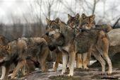 Gruppe von europäische Graue Wölfe