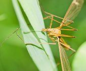 Brown Tipula On Grass