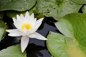 White Flowers Of Water Lilies