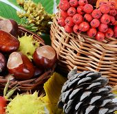Autumn still-life - chestnuts and mountain ash