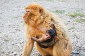 stock photo of gibraltar  - Gibraltar monkey holding his baby on his arms
