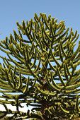 Araucaria, Symbol Of Chile